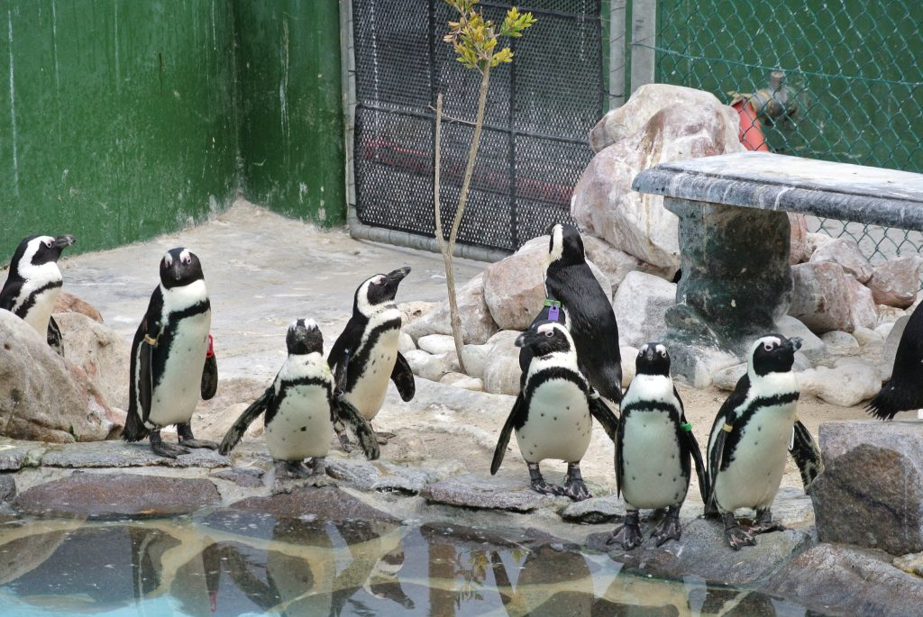 pinguïns at sancob