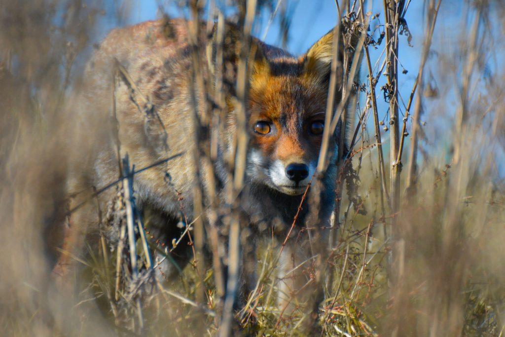 fox in Oostvaardersplassen