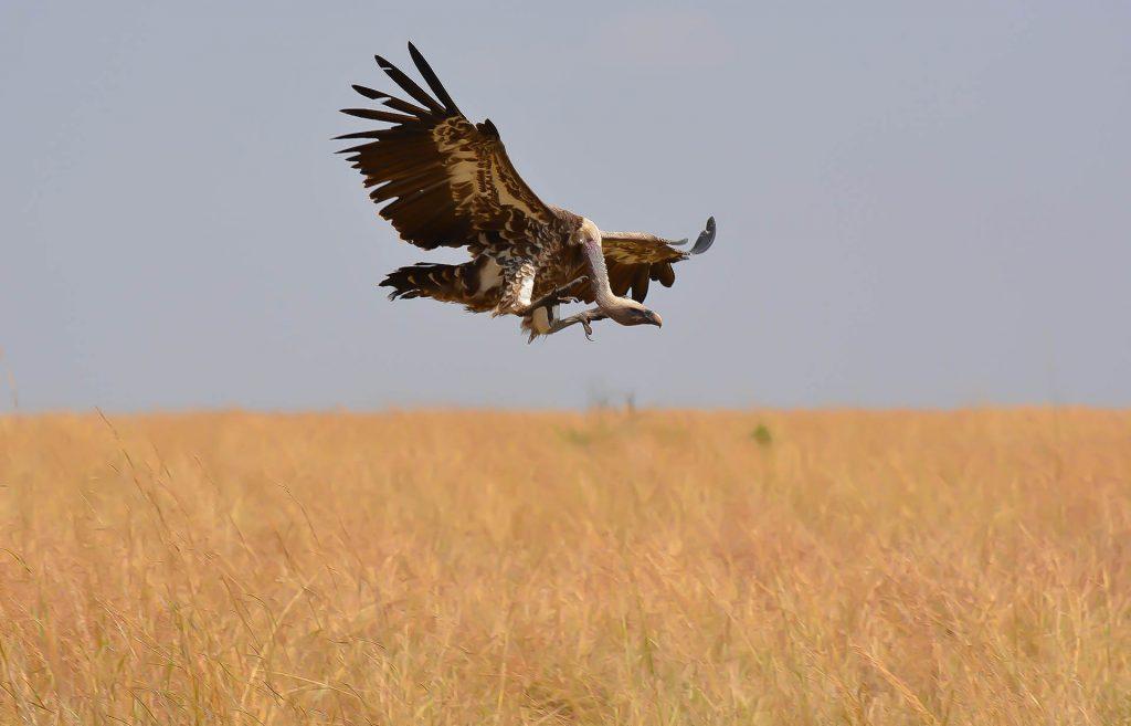 vulture in masai mara