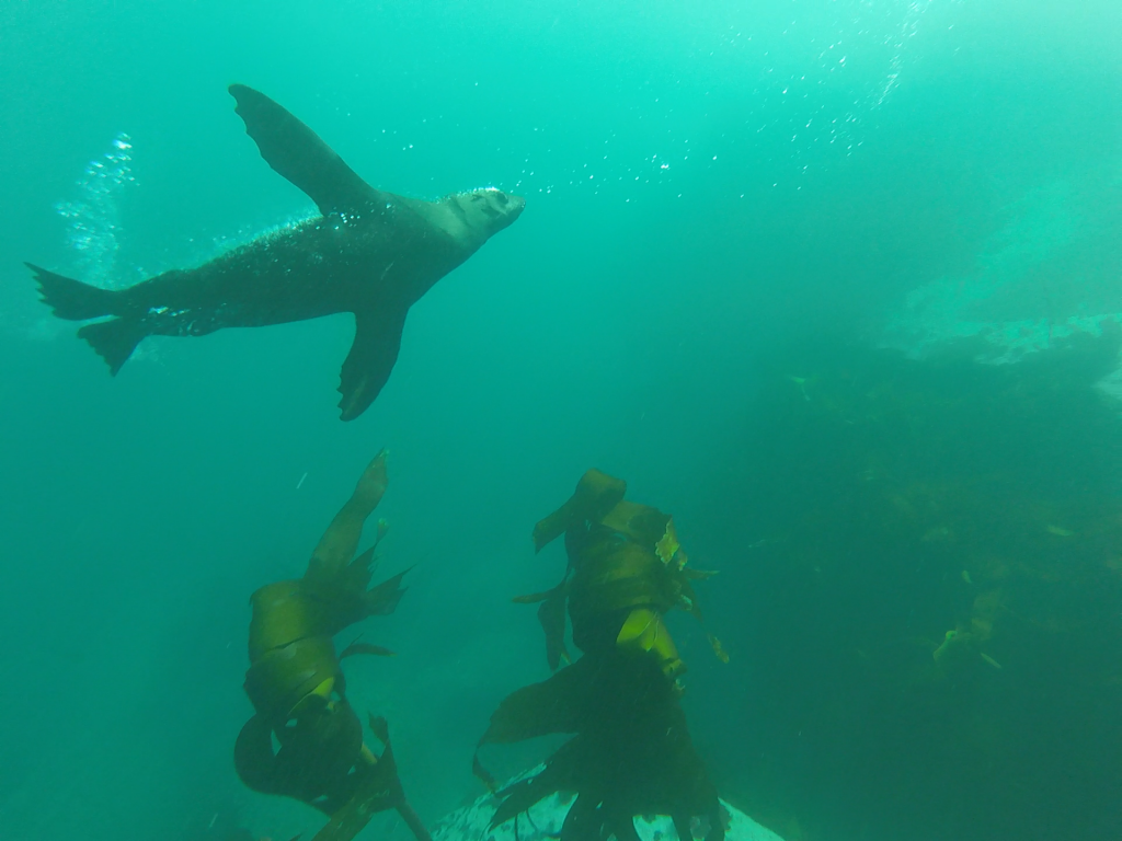 seal snorkling in Cape Town