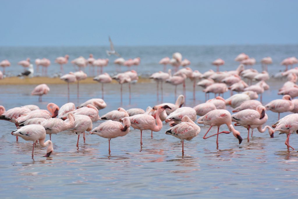 Flamingo's walvis Bay
