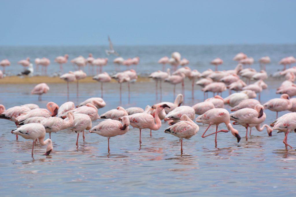 Flamingo's walvis Bay
